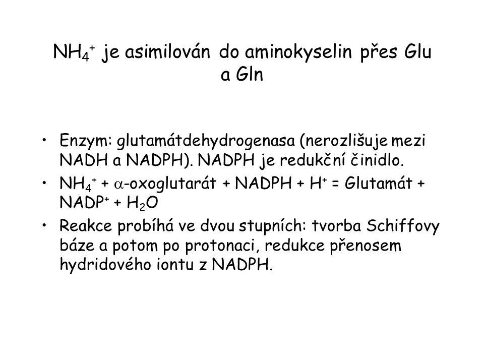 NH4+ je asimilován do aminokyselin přes Glu a Gln