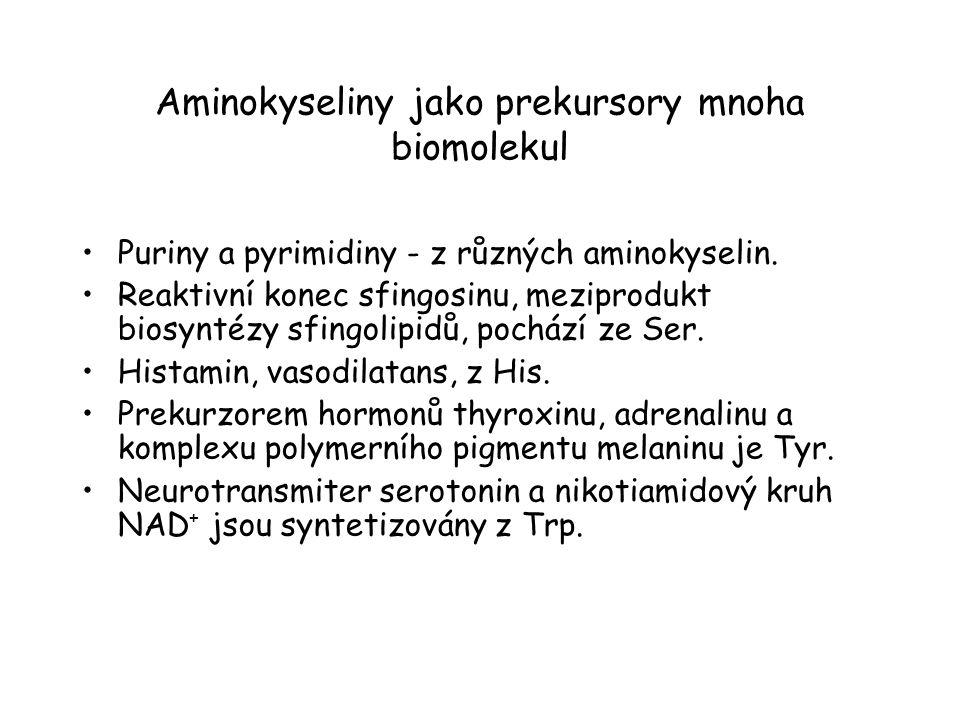 Aminokyseliny jako prekursory mnoha biomolekul