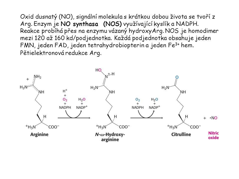Oxid dusnatý (NO), signální molekula s krátkou dobou života se tvoří z Arg.
