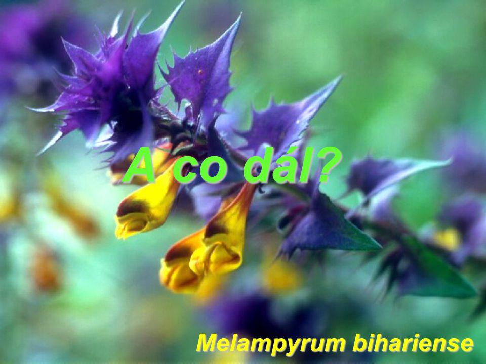 Melampyrum bihariense