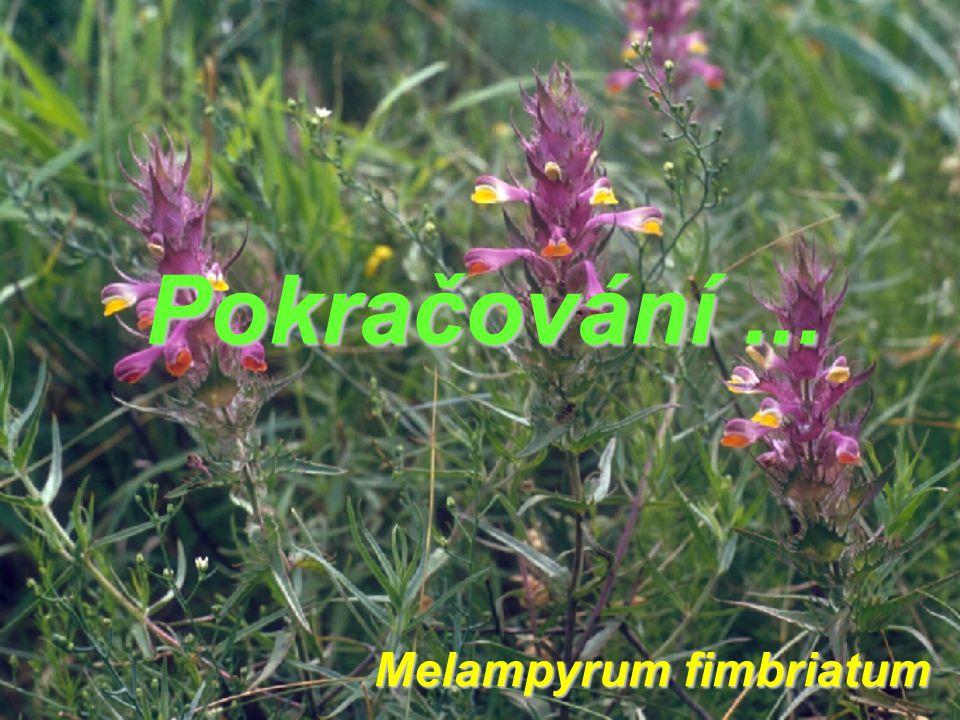 Melampyrum fimbriatum