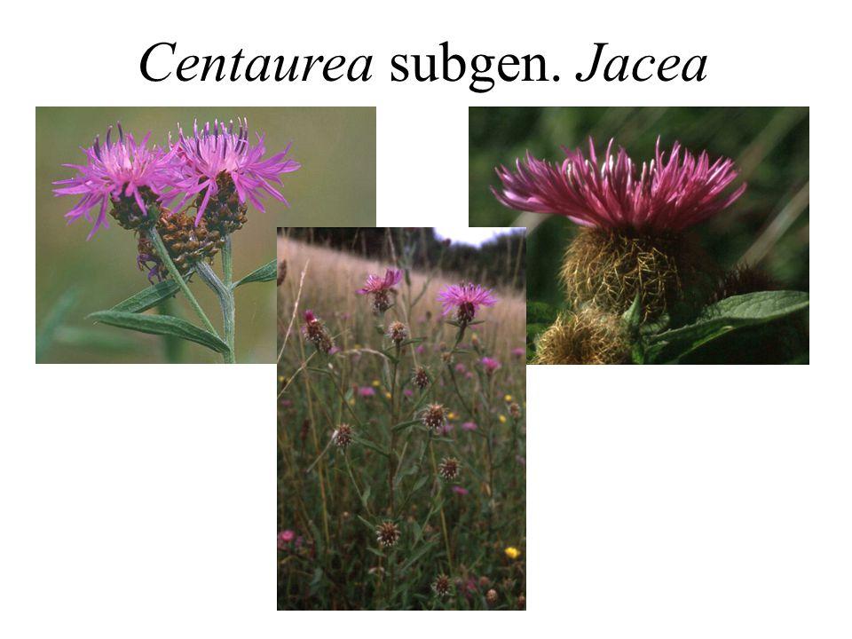 Centaurea subgen. Jacea
