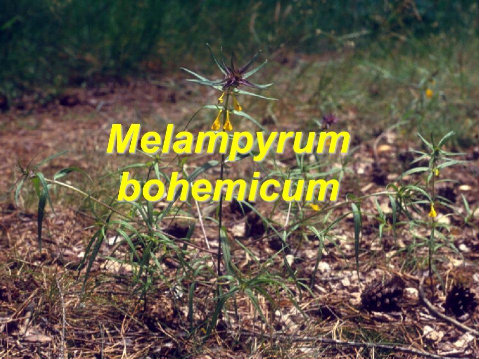 Melampyrum bohemicum