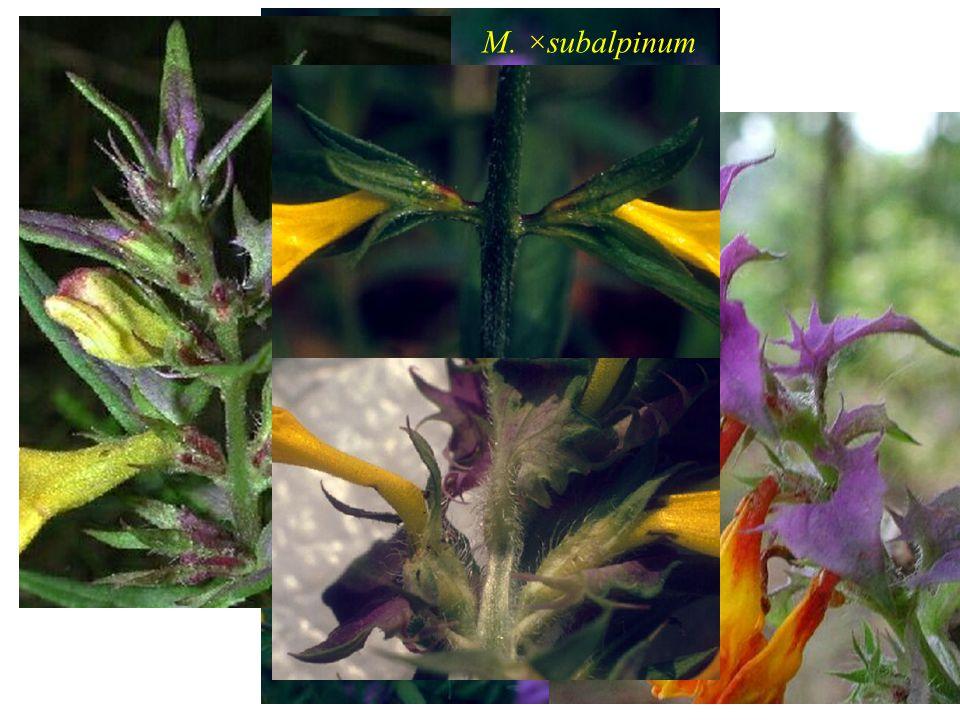 M. ×subalpinum M. nemorosum M. bohemicum