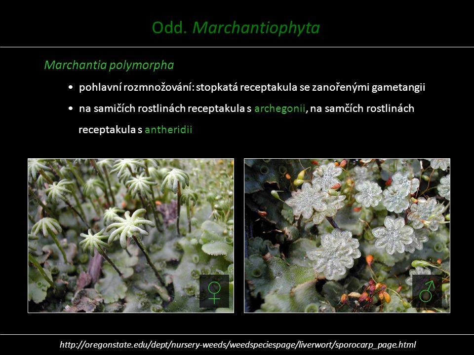♀ ♂ Odd. Marchantiophyta Marchantia polymorpha