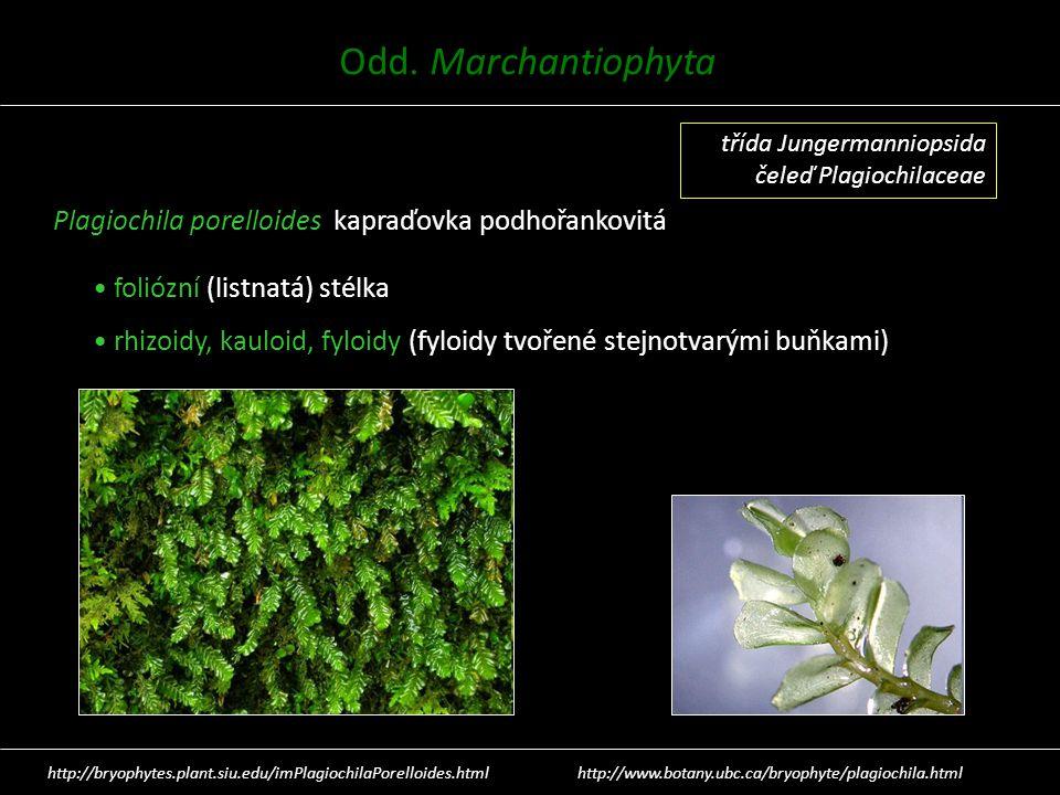Plagiochila porelloides kapraďovka podhořankovitá