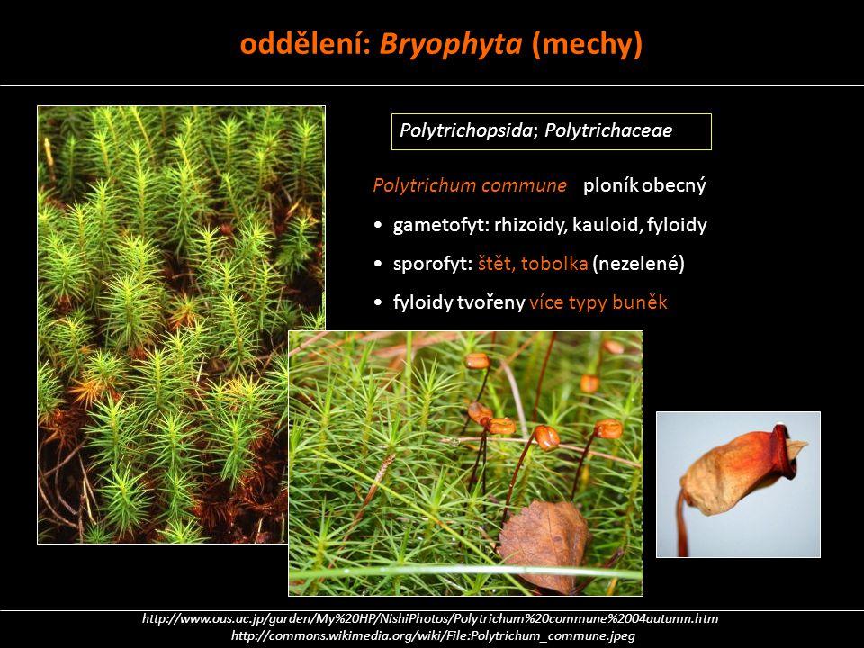 oddělení: Bryophyta (mechy)