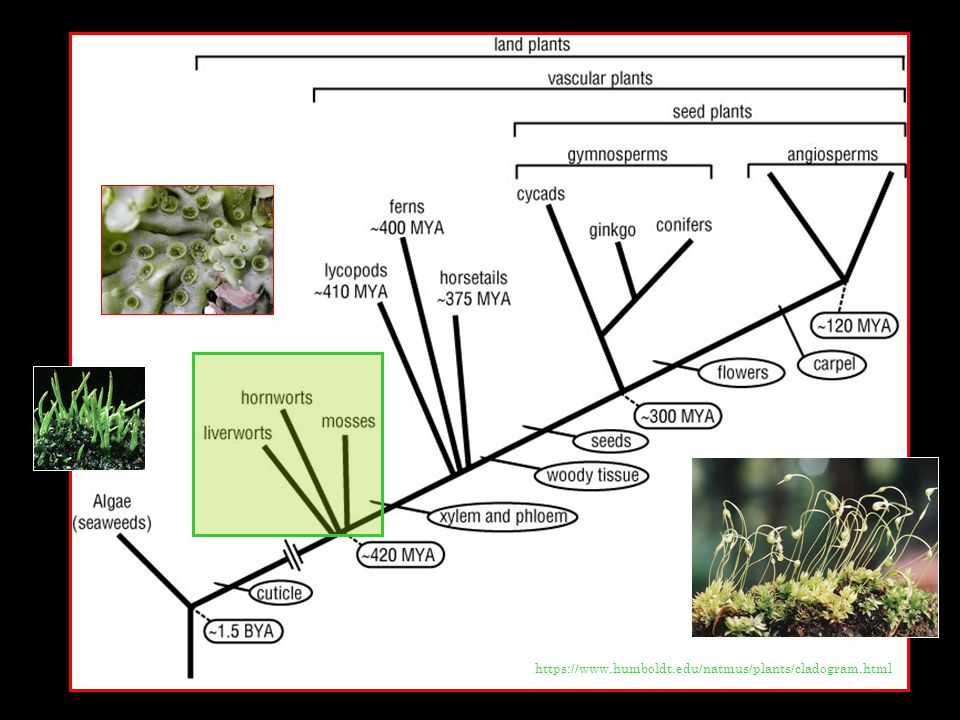 https://www.humboldt.edu/natmus/plants/cladogram.html