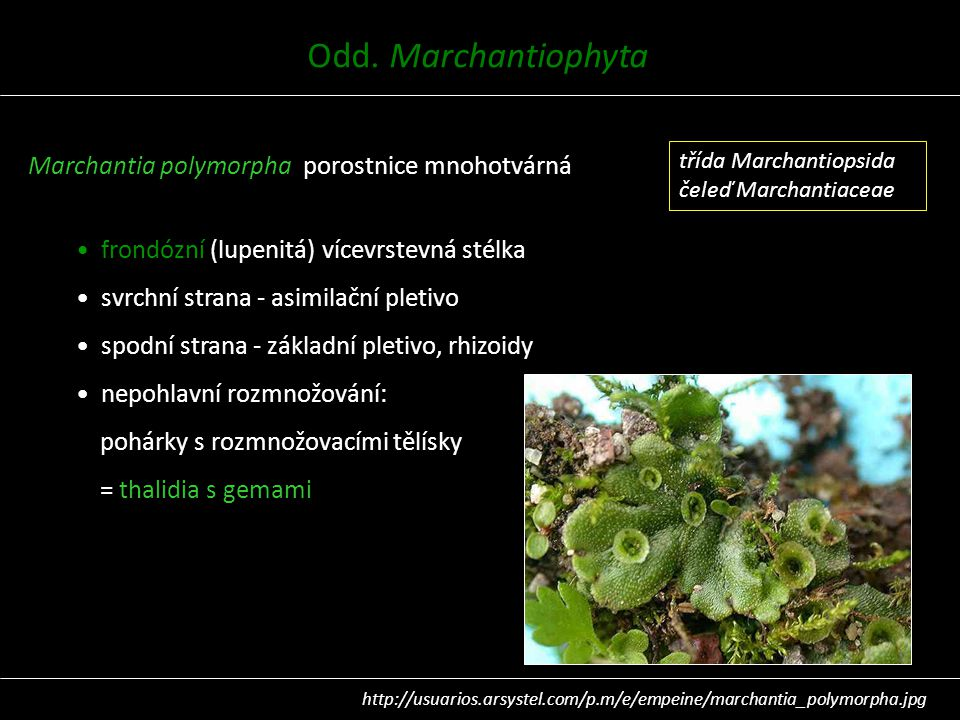 Odd. Marchantiophyta Marchantia polymorpha porostnice mnohotvárná
