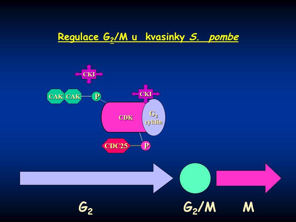 Regulace G2/M u kvasinky S. pombe