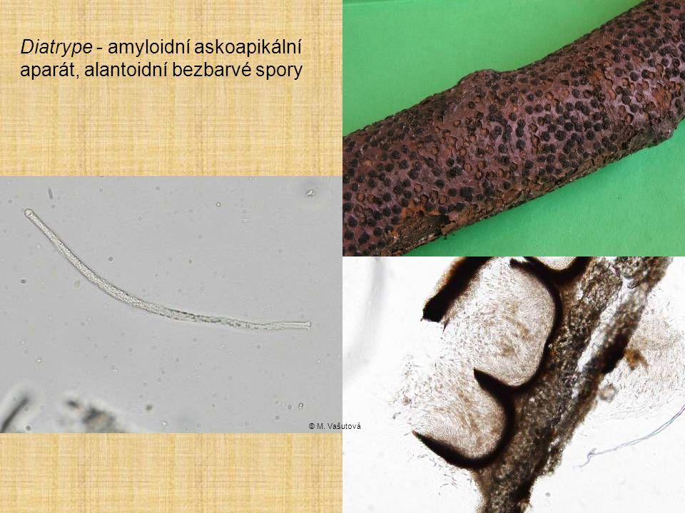 Diatrype - amyloidní askoapikální aparát, alantoidní bezbarvé spory
