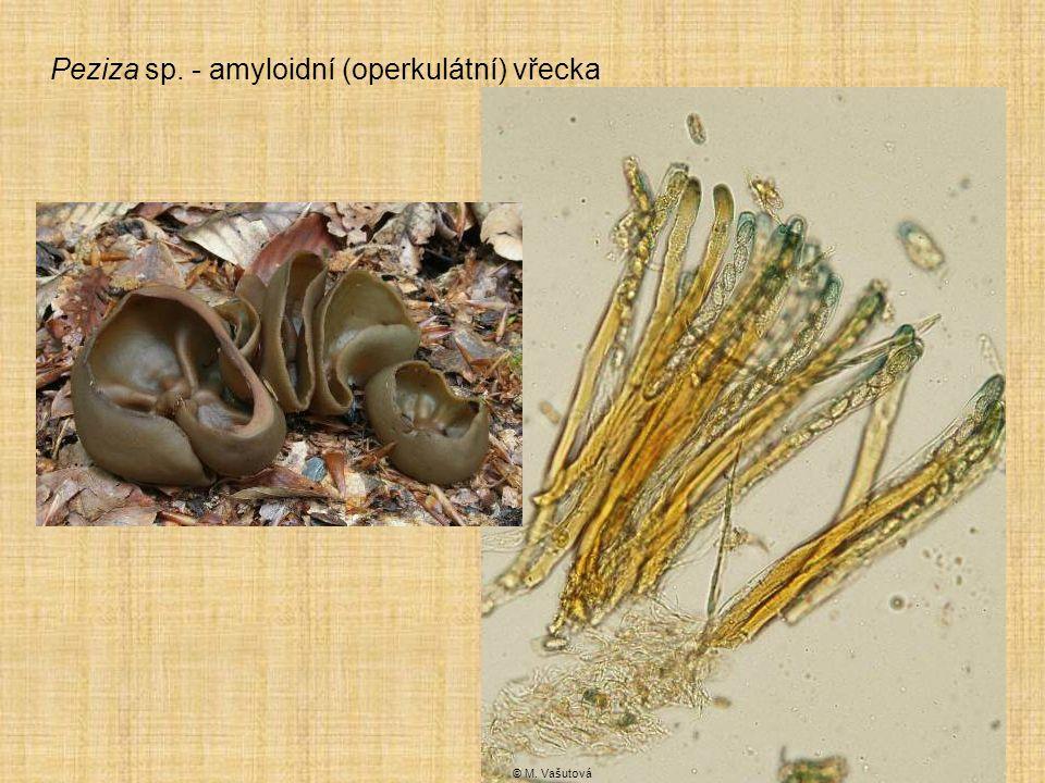 Peziza sp. - amyloidní (operkulátní) vřecka