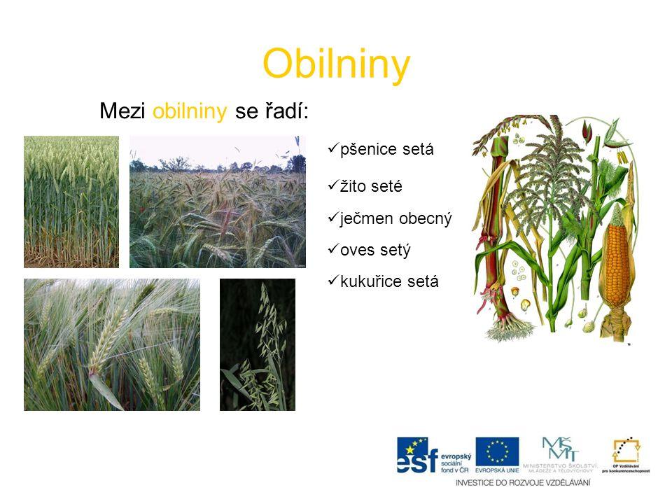Obilniny Mezi obilniny se řadí: pšenice setá žito seté ječmen obecný