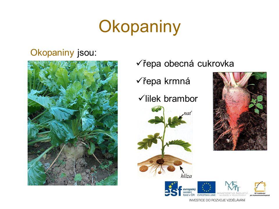 Okopaniny Okopaniny jsou: řepa obecná cukrovka řepa krmná