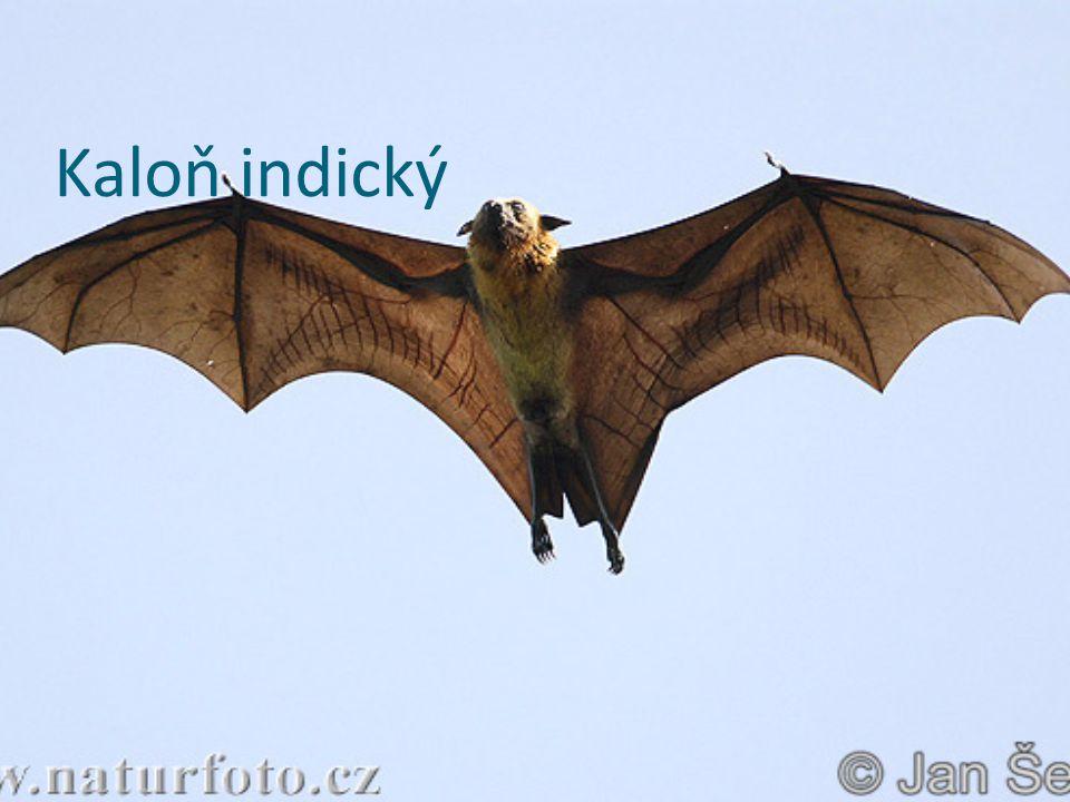 Kaloň indický
