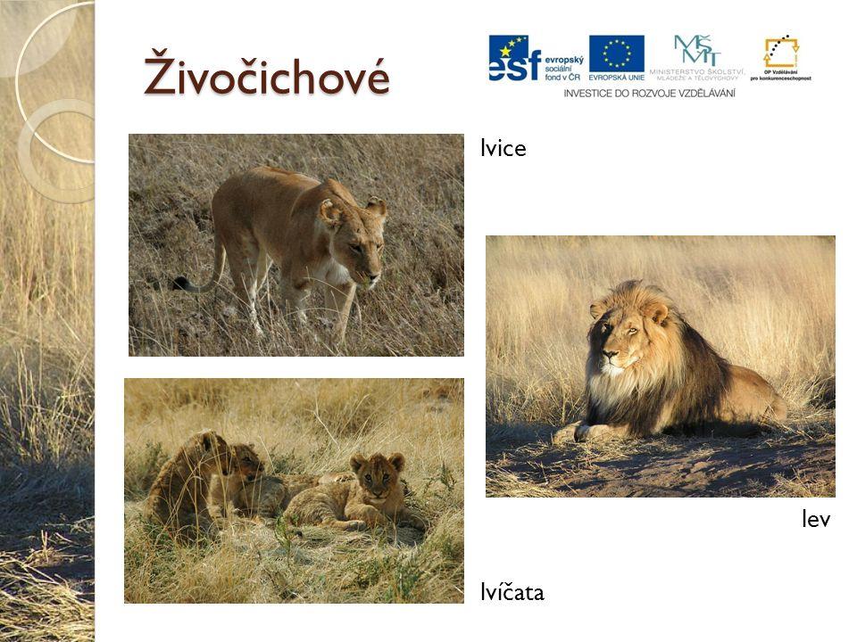 Živočichové lvice lev lvíčata