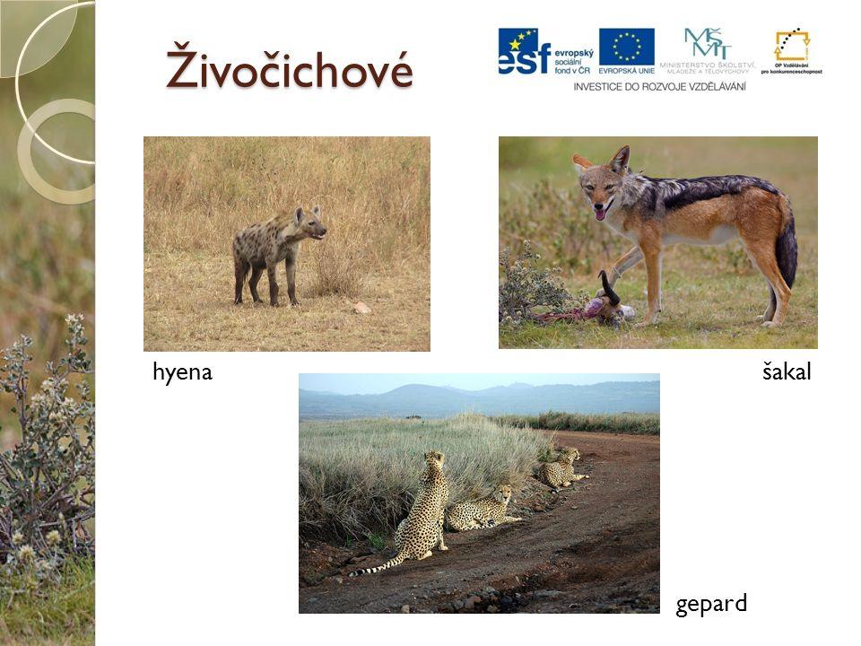 Živočichové hyena šakal gepard