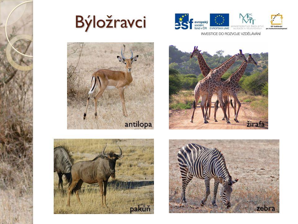 Býložravci antilopa žirafa pakůň zebra