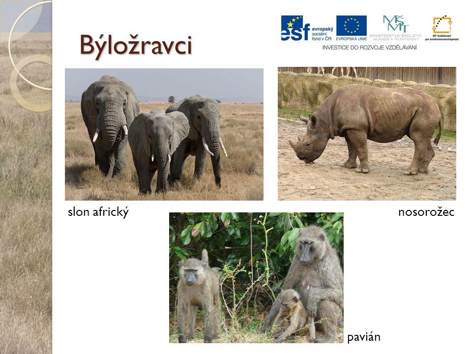 Býložravci slon africký nosorožec pavián