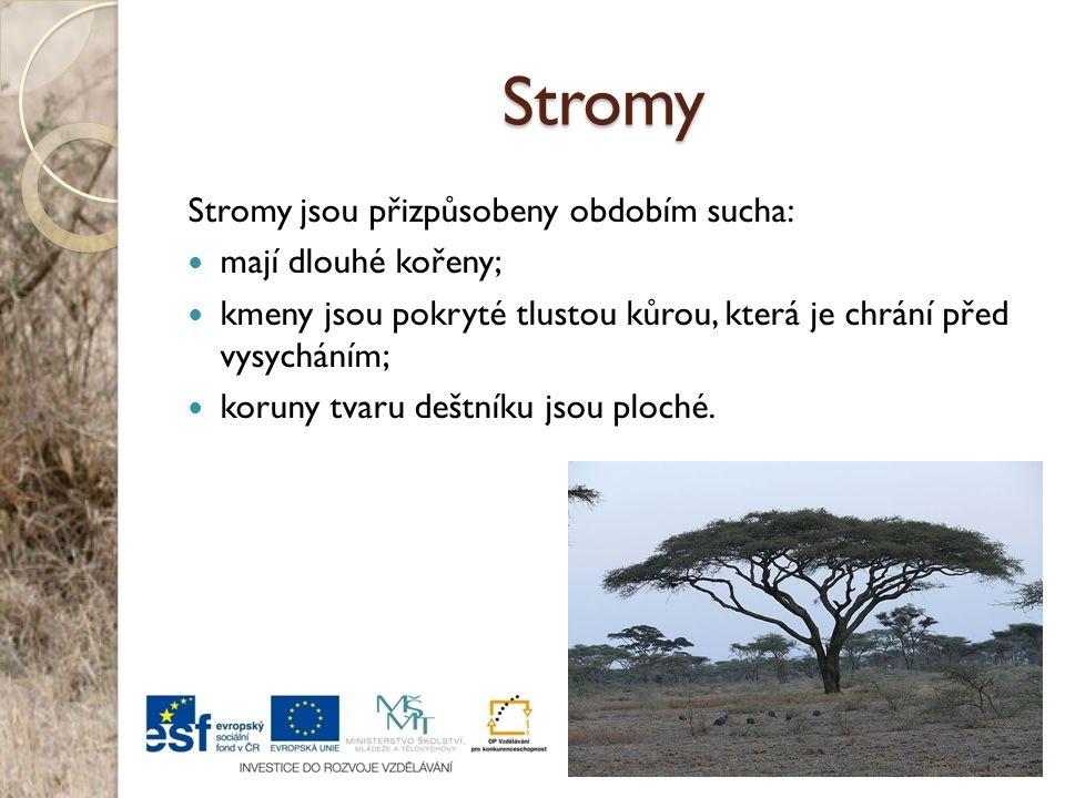 Stromy Stromy jsou přizpůsobeny obdobím sucha: mají dlouhé kořeny;