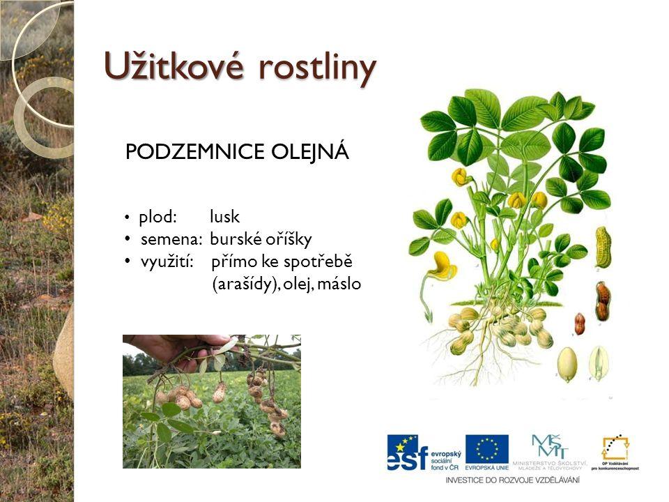 Užitkové rostliny PODZEMNICE OLEJNÁ semena: burské oříšky