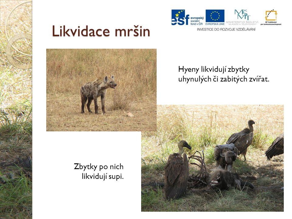 Likvidace mršin Hyeny likvidují zbytky uhynulých či zabitých zvířat.
