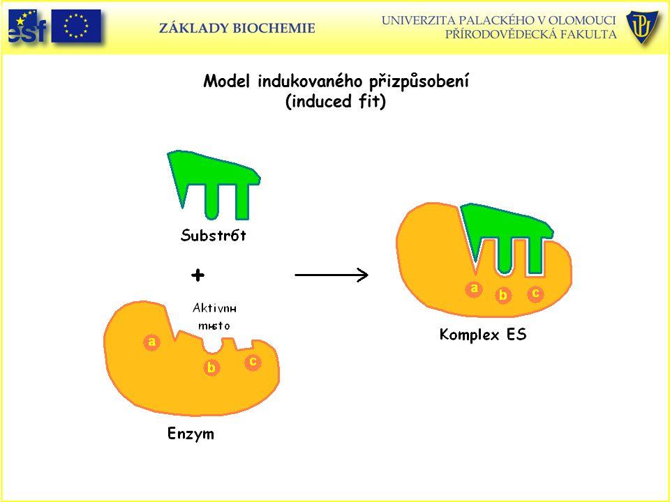 Model indukovaného přizpůsobení (induced fit)