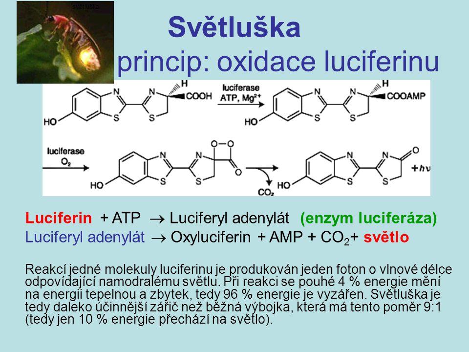 Světluška princip: oxidace luciferinu