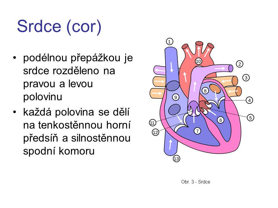 Srdce (cor) podélnou přepážkou je srdce rozděleno na pravou a levou polovinu.