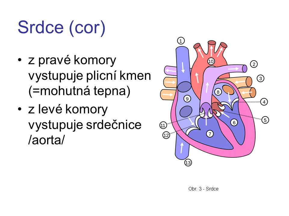 Srdce (cor) z pravé komory vystupuje plicní kmen (=mohutná tepna)