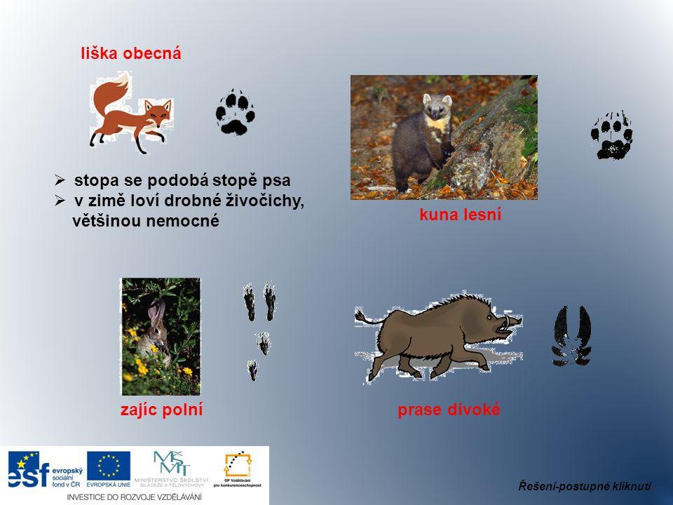 stopa se podobá stopě psa v zimě loví drobné živočichy,