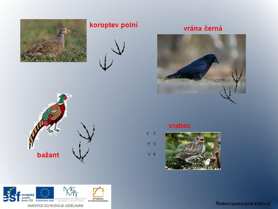 koroptev polní vrána černá bažant vrabec Řešení-postupné kliknutí.