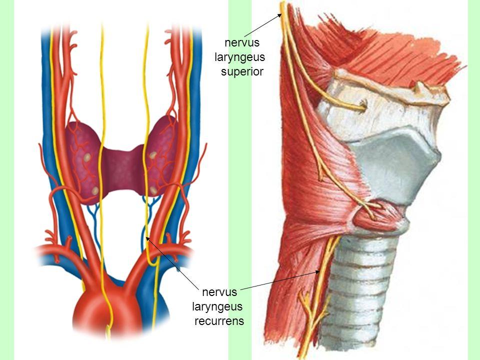 nervus laryngeus superior nervus laryngeus recurrens