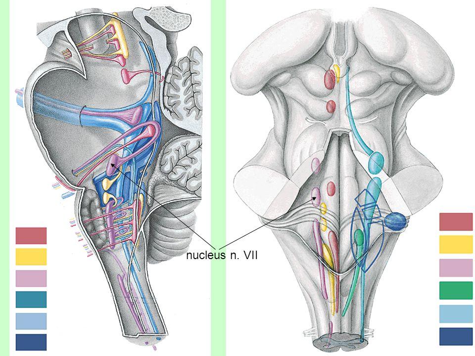nucleus n. VII