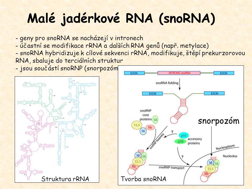 Malé jadérkové RNA (snoRNA)