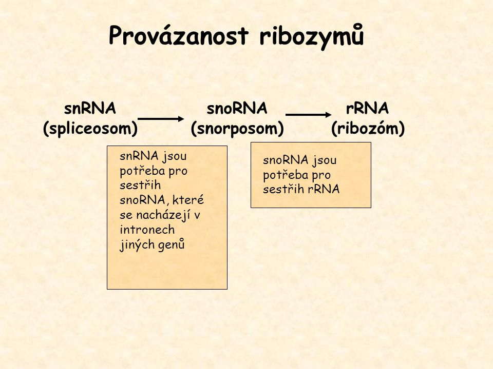 Provázanost ribozymů snRNA (spliceosom) snoRNA (snorposom) rRNA