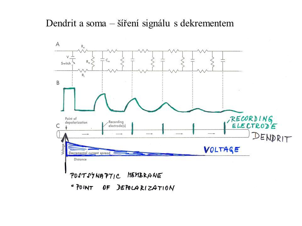 Dendrit a soma – šíření signálu s dekrementem
