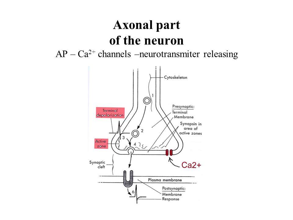 Axonal part of the neuron AP – Ca2+ channels –neurotransmiter releasing