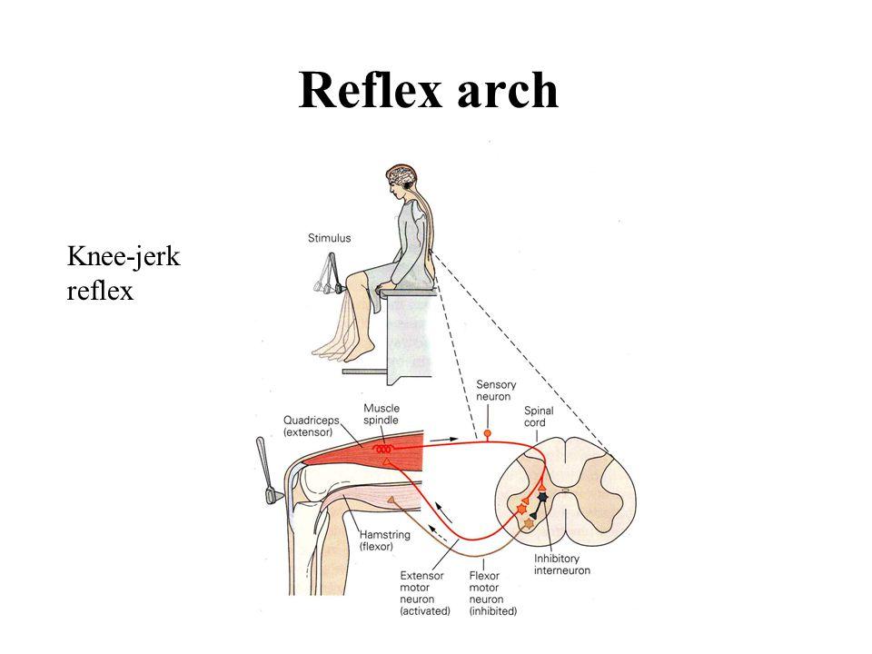Reflex arch Knee-jerk reflex