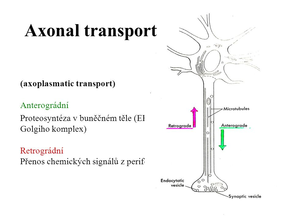 Axonal transport (axoplasmatic transport) Anterográdní