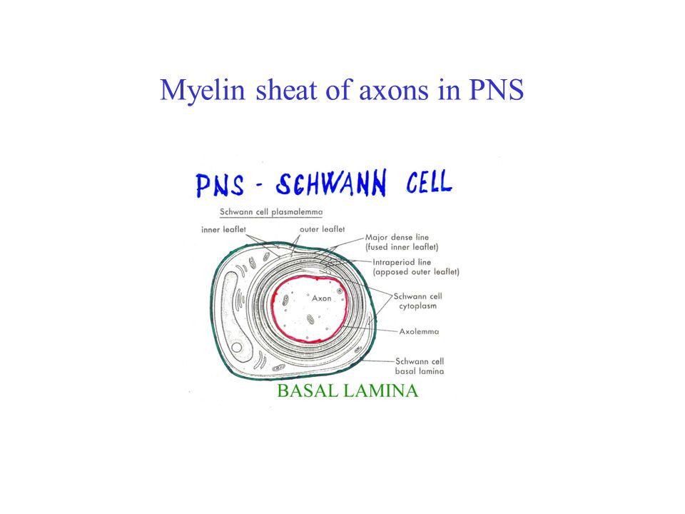 Myelin sheat of axons in PNS