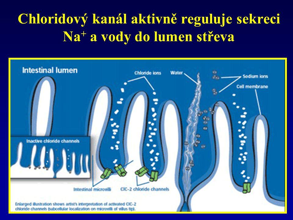 Chloridový kanál aktivně reguluje sekreci Na+ a vody do lumen střeva