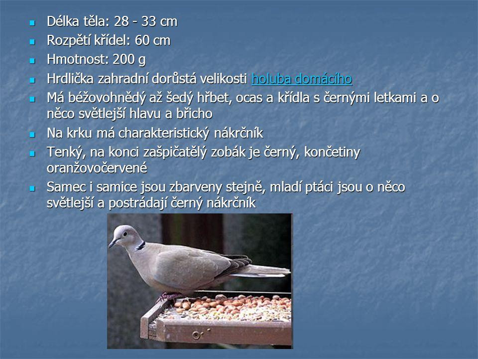 Délka těla: 28 - 33 cm Rozpětí křídel: 60 cm. Hmotnost: 200 g. Hrdlička zahradní dorůstá velikosti holuba domácího.