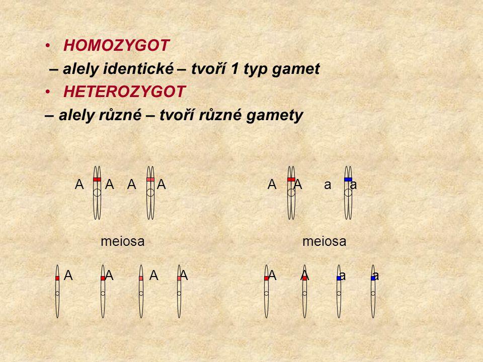 – alely identické – tvoří 1 typ gamet HETEROZYGOT