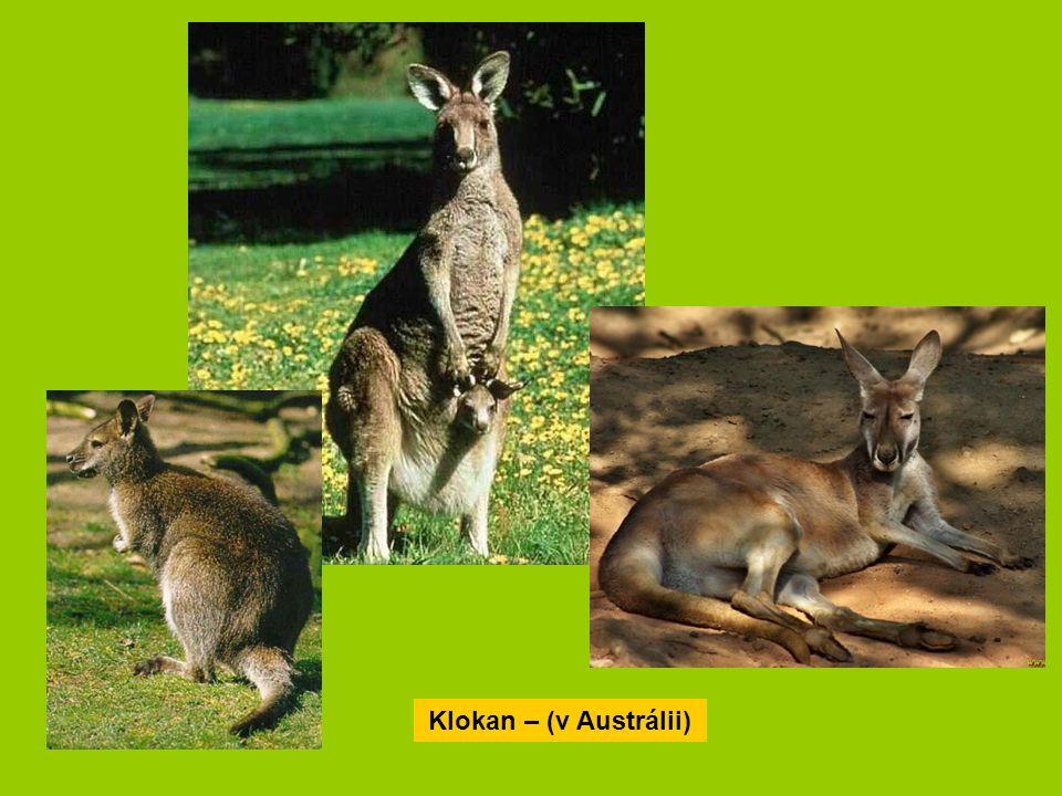Klokan – (v Austrálii)