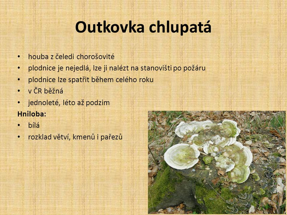 Outkovka chlupatá houba z čeledi chorošovité