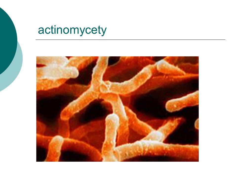 actinomycety