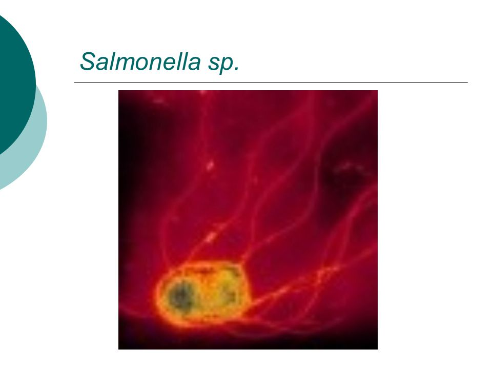 Salmonella sp.