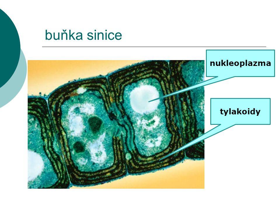 buňka sinice nukleoplazma tylakoidy