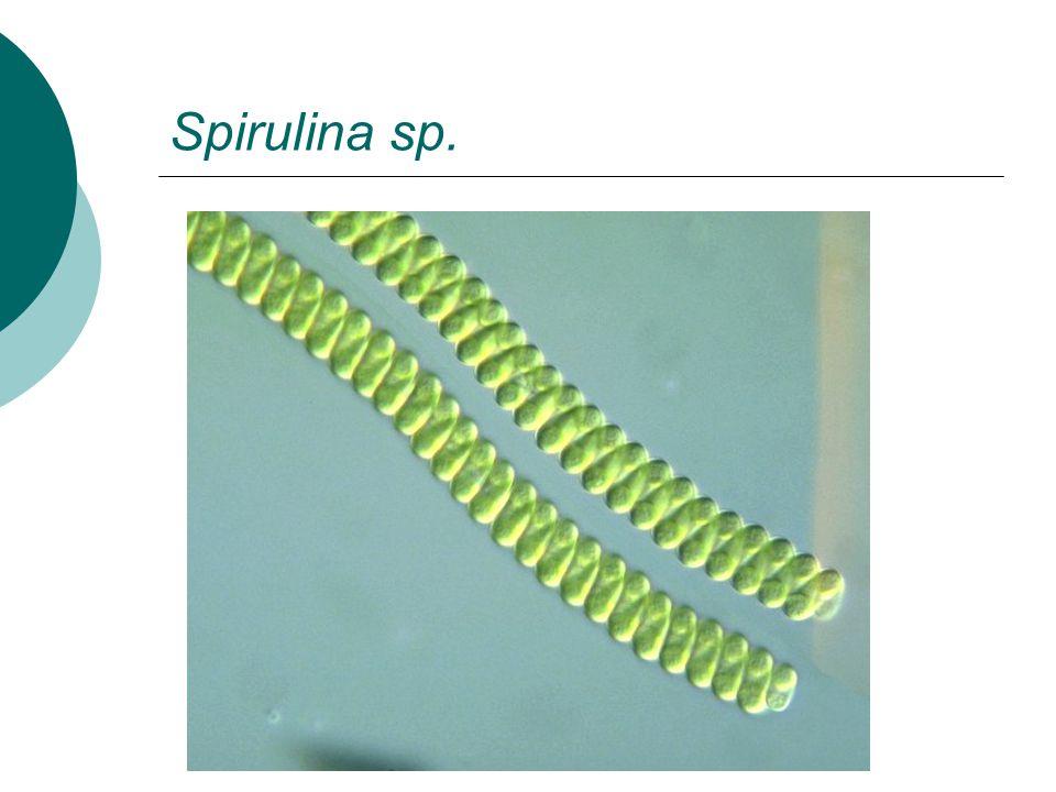 Spirulina sp.